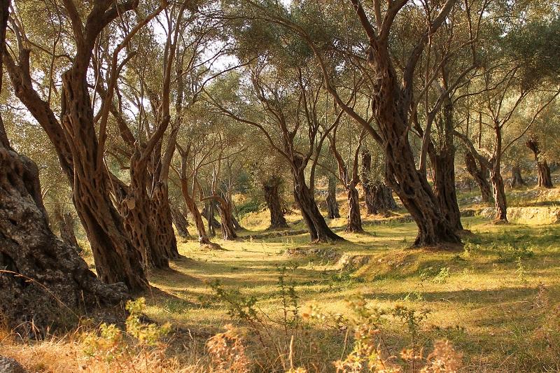 Gaj oliwny Ulcij czarnogóra