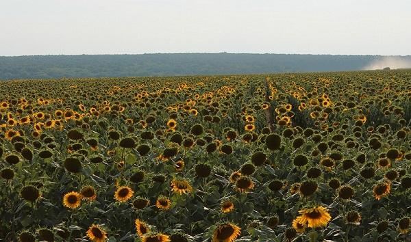 Pola słoneczników węgry