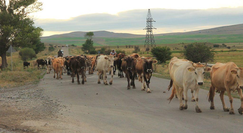 Krowy na drodze w Gruzji