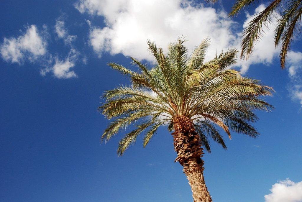 Palmy daktylowe Izrael