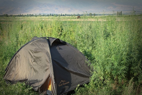 Nocleg w polu marihuany namiot