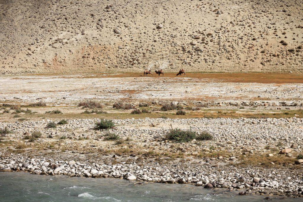 Wielbłądy po afgańskiej stronie kibicują.