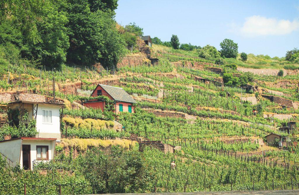 Winnice w niemczech Saksonia