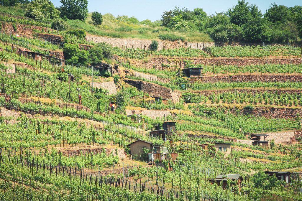 Winogrona w saksonii