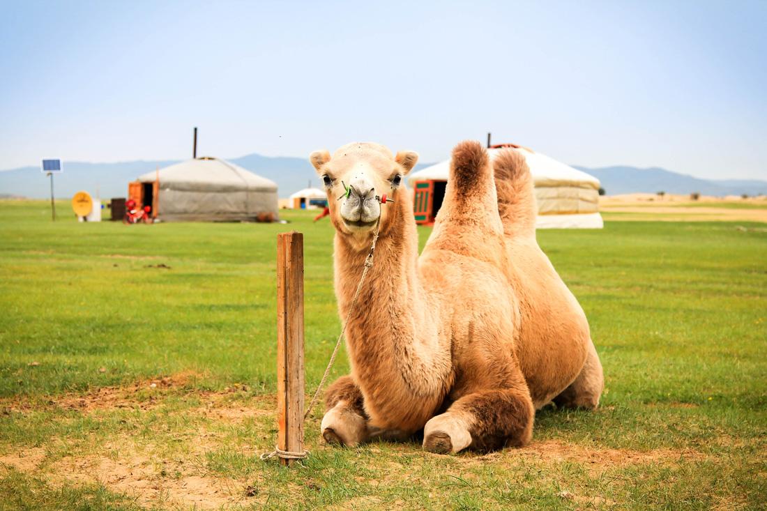 wielblad-w-mongolii